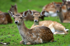 Fawn Royalty Free Stock Image