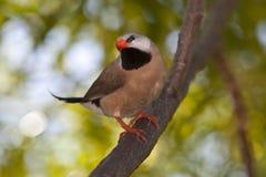fawn finch shafttail στοκ φωτογραφία