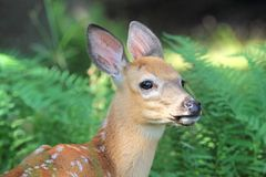 Fawn in forest Royalty Free Stock Photos