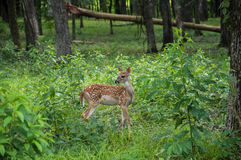 Fawn in forest Stock Photography