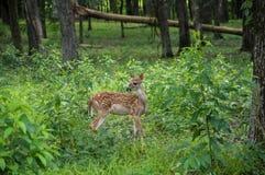 Fawn in foresta Fotografia Stock