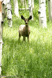 Fawn in forrest Royalty Free Stock Image