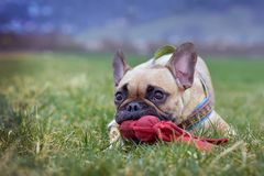 Fawn French Bulldog with black mask lying on grasss holding a red dog toy in muzzle stock image