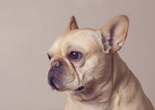 Fawn French Bulldog. Fawn colored French Bulldog in partial profile stock images