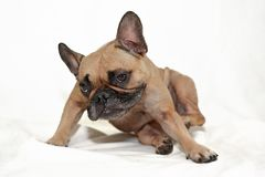 Fawn French Bulldog dog with skin allergies scratching in front of white background