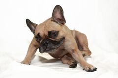 Fawn French Bulldog dog with skin allergies scratching in front of white background royalty free stock photography