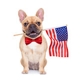 Fawn french bulldog. French bulldog holding a flag of usa on independence day on 4th of july , with mouth , isolated on white background stock image