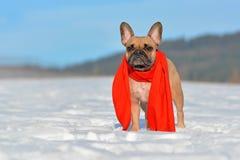 Fawn French Bulldog hund med en röd vinterhalsduk runt om halsanseende i snölandskap i vinter royaltyfri bild