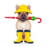 Fawn French Bulldog Ready For A Walk Stock Photo