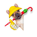 Fawn french bulldog ready for a walk Stock Photography