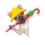 Fawn french bulldog ready for a walk Stock Photos