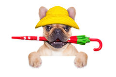 Fawn french bulldog ready for a walk Royalty Free Stock Photo