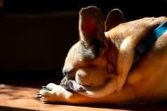 Fawn French Bulldog triste que encontra-se no sol em um domingo preguiçoso fotografia de stock royalty free