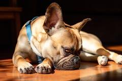 Fawn French Bulldog triste que encontra-se no sol em um domingo preguiçoso imagens de stock