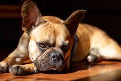 Fawn French Bulldog triste que encontra-se no sol em um domingo preguiçoso foto de stock royalty free