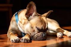 Fawn French Bulldog triste que encontra-se no sol em um domingo preguiçoso fotos de stock royalty free