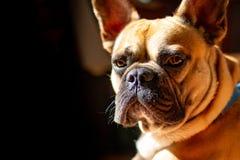 Fawn French Bulldog triste que encontra-se no sol em um domingo preguiçoso foto de stock