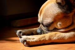 Fawn French Bulldog triste que encontra-se no sol em um domingo preguiçoso imagens de stock royalty free