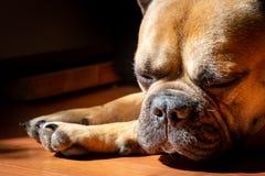 Fawn French Bulldog triste que encontra-se no sol em um domingo preguiçoso fotografia de stock