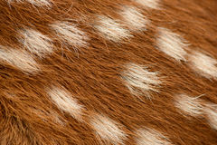 Fawn fur. Closeup of a whitetailed fawn's fur Royalty Free Stock Image