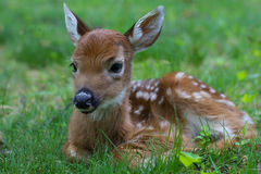 Fawn 1. Furry fuzzy fawn sitting serenely in a green grassy meadow in the morning Stock Photography