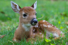 Fawn 5. Fuzzy furry fawn sitting serenely in a green grassy meadow in the morning sun Stock Image