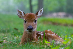 Fawn 4. Fuzzy furry fawn sitting serenely in a green grassy meadow in the morning sun Royalty Free Stock Images