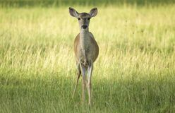 Fawn in grass Stock Photo