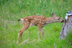 Fawn in the grass Stock Images