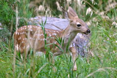 Fawn in the grass. Fawn, baby, in the grass, Yosemite, the United States Stock Image