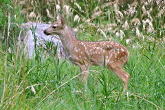 Fawn in the grass Stock Photo