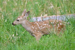 Fawn in the grass. Fawn, baby, in the grass, Yosemite, the United States Royalty Free Stock Photography