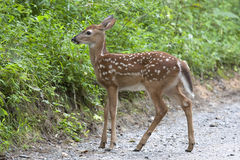 Fawn on a Gravel Road Stock Photos