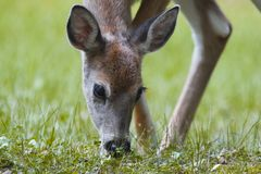 Fawn grazing Royalty Free Stock Image