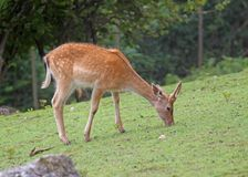 Fawn while grazing the grass mountain meadow Stock Images