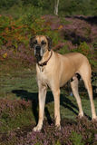 Fawn Great Dane Royaltyfri Foto