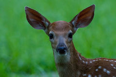 Fawn green Royalty Free Stock Photography