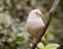 A fawn hen zebra finch Royalty Free Stock Photography