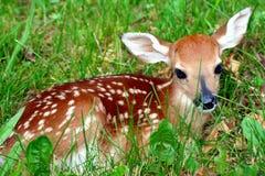 Fawn in het gras Stock Afbeelding