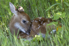 Fawn hiding in grass. Cute baby fawn whitetail deer laying in lush green field Royalty Free Stock Images