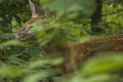 Fawn Hiding im Wald Lizenzfreie Stockbilder