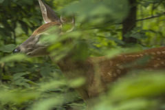 Fawn Hiding in the Woods. Young deer hiding in the brush Royalty Free Stock Images