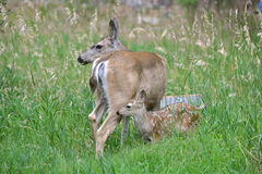 Fawn and his mother, in the grass. Yosemite, the United States Stock Photography