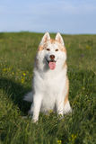 Fawn husky Stock Images