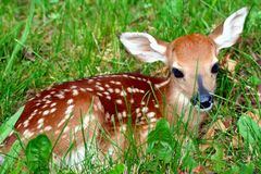 Free Fawn In The Grass Stock Image - 3493351