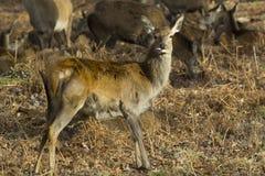 Fawn insolente dei cervi nobili Fotografia Stock