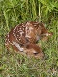 Fawn krullade upp i gräset Royaltyfri Foto