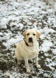 Fawn Labrador Retriever avec un collier rouge se reposant sur la première neige Photographie stock