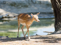 Fawn beside lake Stock Photography