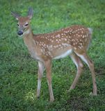 Fawn on the lawn Royalty Free Stock Images